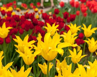 Tulips photos. Red and yellow tulip fields.