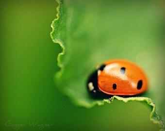 Nature Photography - Sleeping Ladybug - fine art print - 8 x 10 - macro insect leaf green orange black home decor