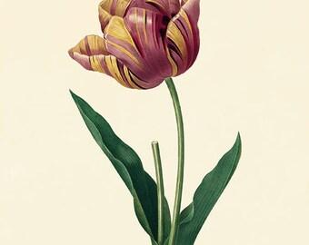 Tulip vintage flower art print Cottage wall art Victorian print French decor antique wall art Flower decor Botanical wall art Garden print