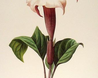 Flower Print - Datura lavis - 1981 Large Vintage Flower Book Plate