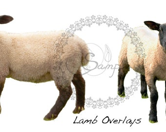 Lamb Sheep Overlay Digital Download