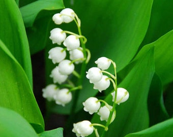 Lily of the Valley scented products Shower Gel, Whipped Body Butter, Lotion, Body Spray, Bath Soak, Shampoo or Conditioner