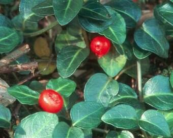 Live Partridge Berry Vines for Fairy Gardens, Terrariums, Vivariums