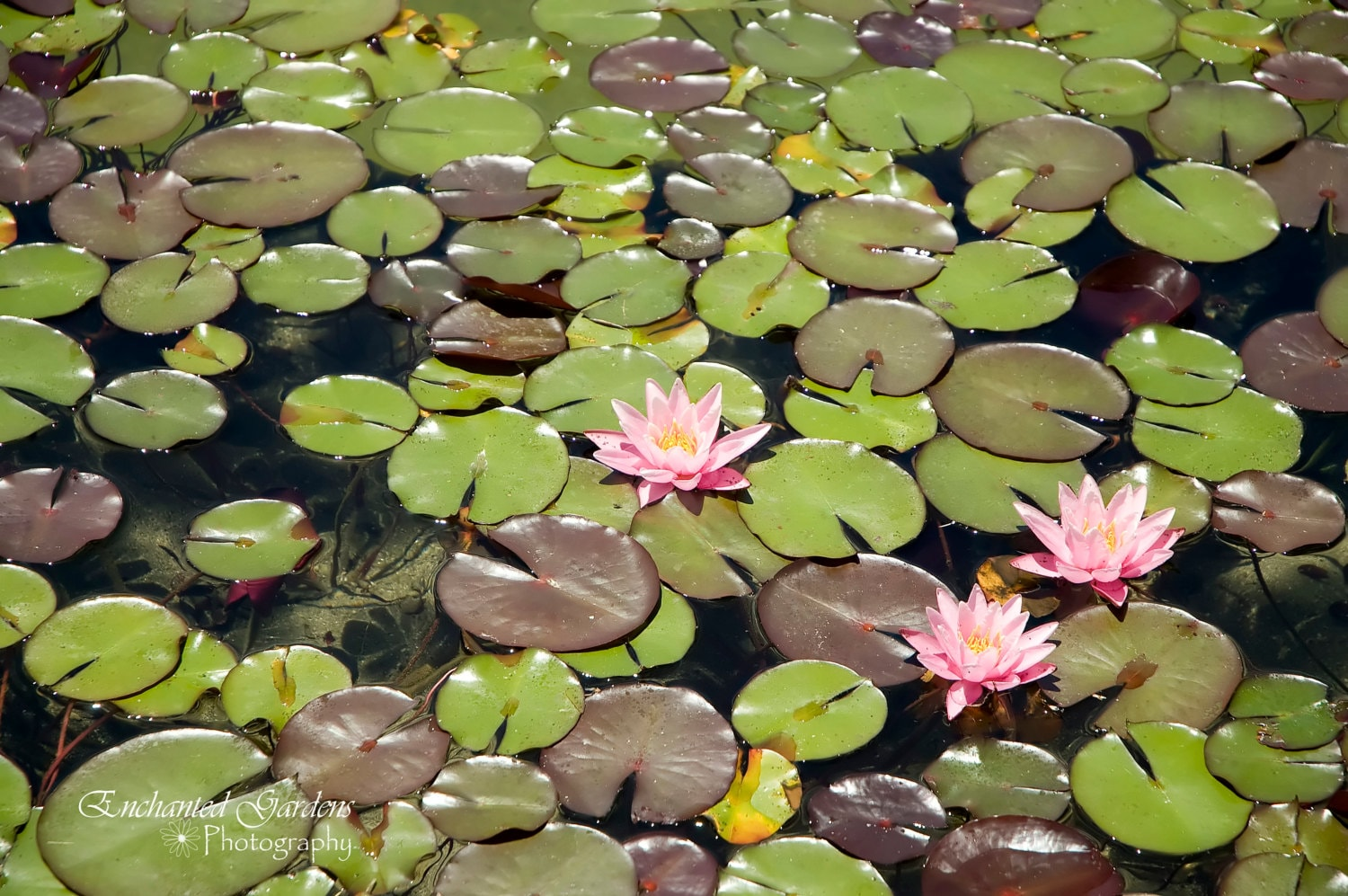 Kissed Pink Lily Pads Pink Flower Water Plants Lily Pads