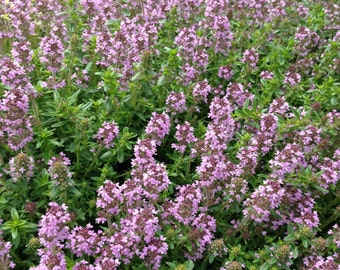 Thyme Seeds Thymus serphyllum Mother of Thyme Creeping Thyme Great Groundcover Plant and Bee Plant Fragrant Foliage Plants