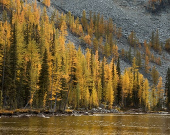 Golden Larch Trees in the North Cascades, Washington |  Pacific Northwest Photography | Print | Metal, Canvas, Lustre