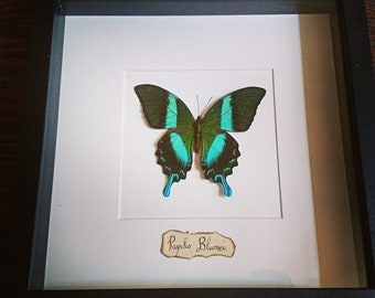 Frame with butterfly Blumei Entomology cabinet of curiosities
