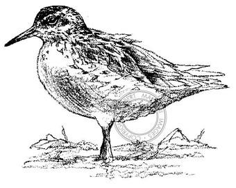Sharp-tailed Sandpiper pencil drawing - bird art, wildlife art - nature print of original artwork