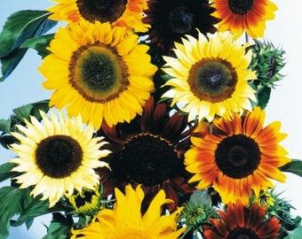 300 Seeds Sunflower Mix Sunflower Seeds