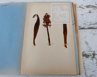Vintage 1939 French herbarium/botanical plate/ Orchidées/Orchies pyramidale