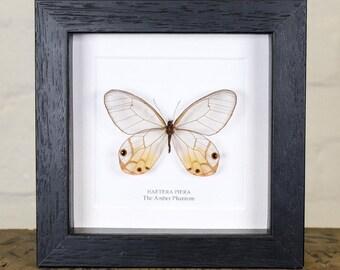 The Amber Phantom Butterfly in Box Frame (Haetera piera)