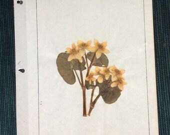 VINTAGE WILDFLOWER DISPLAY, pressed page, 1968 school project, marsh marigold