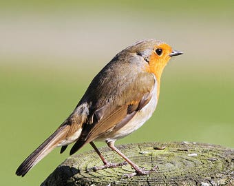 Robin photographed on a fence post in wales