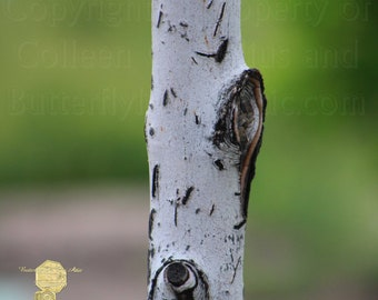 Natural Photograph, Close Up of White Birch Tree in Springtime in American Fork Canyon Utah, Zen Home Decor Interior Decorating