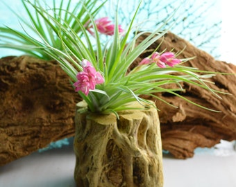 Cholla Stump Planter with Stricta Air plant or other Air Plant Choice at Checkout ~Touch of Nature ~ no soil needed ~ Not always in Bloom