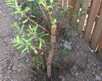 "SPRING PLANTING! Quantity=1 One BIG 24-36"" Austree Hybrid Willow Salix 3 ft Fresh 10'/yr fastest growing New!"