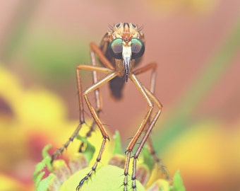 Robber Fly Color Photo Print { yellow, brown, green, insect, flower, wings, hunter, six, wall art, macro, nature & fine art photography }