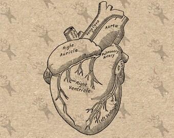 Alte Anatomie menschliches Herz Antik zeichnen alte Abbildung Clip Art Retro Design übertragen digitale Grafik Instant Download DIY HQ 300dpi