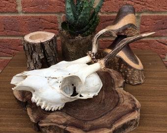 Beautiful Unusual Vintage Roe Deer Skull Bones Natural Taxidermy Antlers