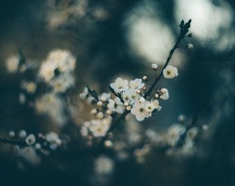 Blossoming Cherry photography, White wall decor, Flower photography, Flower home decor, Still life art, Nursery decor, Cherry tree Print