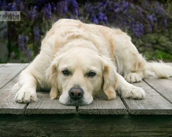 Sweet young GOLDEN RETREIVER dog lays flat on wooden deck n front of purple Wisteria Vines Fine art Wall Decor Pet PHOTOGRAPHY