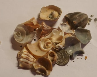 Lot of Conch, welk and cone fragments