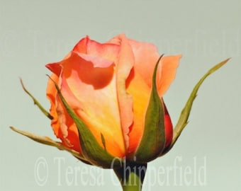 Fine Art Floral Photography, A Single Vividly Bright Multi Coloured Rosebud, Yellow Orange Peach Pink Red Green Beautiful Home Decor, 8 x 10