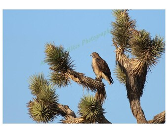 Nature photo print. Hawk on Joshua Tree. Horizontal print