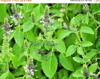 Holy Basil App 100 Garden Herb Seeds! Sacred Tulsi Wholesome Non GMO Aromatic Herb Gardening Indoors or Out Ocimum tenuiflorum