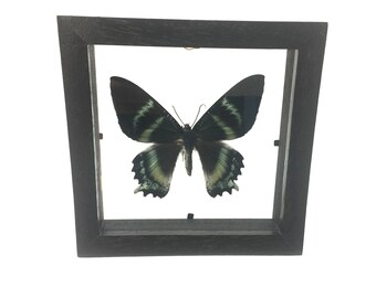 Alcides Orontes Moth/ Butterfly/Insect/Taxidermy/Lepidoptera