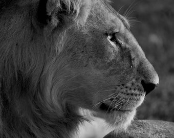 Male Lion Black and White Photograph