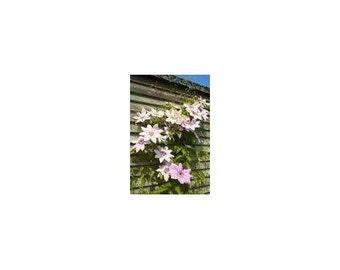 7 Pink Clematis Vine Seeds-1218