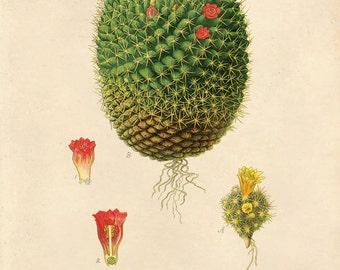 Cactus Blossom Print. Vintage Botanical Palm Springs Educational Chart Diagram Cactus Desert Poster Pull Down Chart - CP225