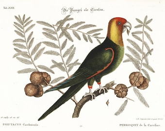Carolina Parrot - Mark Catesby ~  1740 ~ Wildlife lithograph print ~ Natural History of Carolina ~ Giclee Art Print - Bird Wall Art
