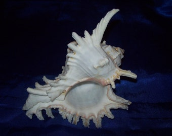 The Ramose or Branched Murex Shell from an Old Collection