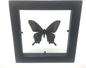 Stunning Papilio Maakii Maakii Spring Butterfly/Insect/Taxidermy/Lepidoptera.
