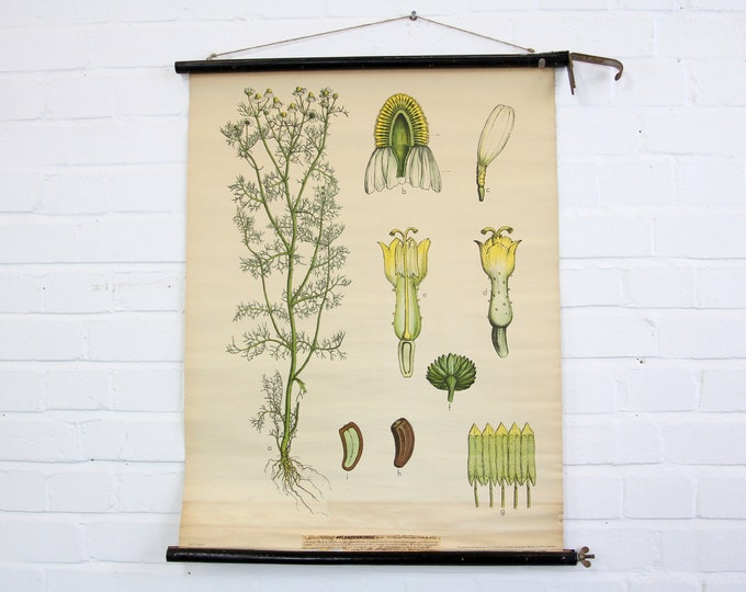 Canvas Backed German Botanical Wall Chart Circa 1930s Chamomile