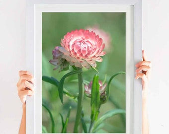 Sweet Pink Strawflower Art in Nature Photograph Digital Download Print