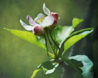 Floral Nature Photography - Apple Blossom - 8x10 fine art print - spring cottage chic pink green white flower home decor