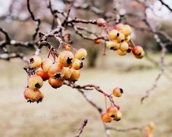 Nature Photography - Orange Winter Berries Fine Art Photograph - Irish Botanical Print - Home Decor - Winter Trees Photography