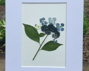 Real Pressed Flower Art Pressed Botanical Art Herbarium of Bluebird Hydrangea 8x10