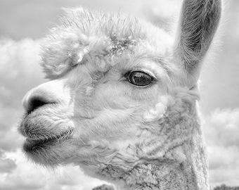 Animal Photography, Alpaca Print or Canvas, Black & White Art Print, Animal Art Print, Monochromatic Art, Animal Wall Decor - Hello Yourself