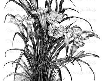 Flower Clip Art Vintage Printable Art Freesia Refracta Alba Digital Download PNG JPG Illustration