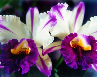Hawaiian Fine Art Orchid Photography - White & Purple Orchid Matted in White Flower Photo - Nature Photography - White Cattleya Orchids