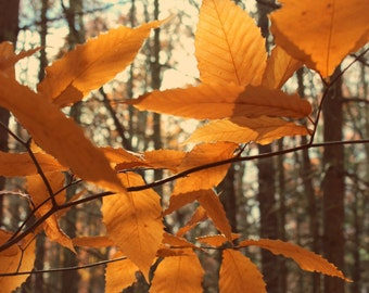 """Nature Photography, Woodland, Forest, Fall Foliage, New England, Gold, Amber, Black, White, 6x9 or 8x12. """"Leaves of Gold""""."""