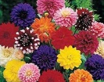 20+ Dinner Plate Dahlia Mix / Bi-Color and Solid / Early-Blooming Annual Flower Seeds
