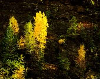 Fall tree decor, Colorado art, aspen trees, rustic wall art, cabin decor, yellow gold leaves photo, aspens art, fall | Forest Ledges