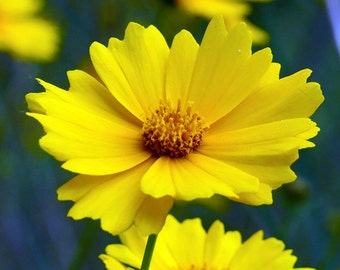 Lanceleaf Coreopsis Flower Seeds - Non-GMO, Open Pollinated, Untreated, Heirloom, Native, Flower Seeds