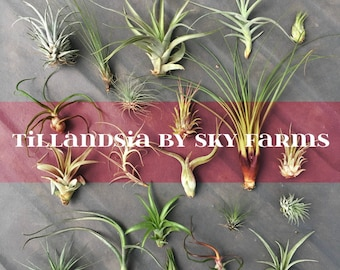 100 assorted Tillandsia air plants - FREE SHIP treasury wholesale bulk lot collection