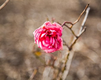 Rose rose - Flower photo